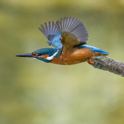 IJsvogel stijgt op