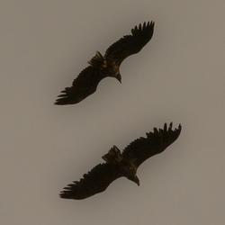 Sea eagle in Adenes