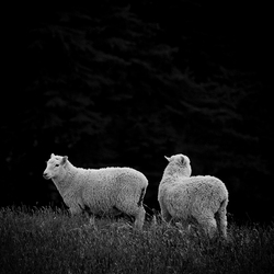 Sheep from Dunedin