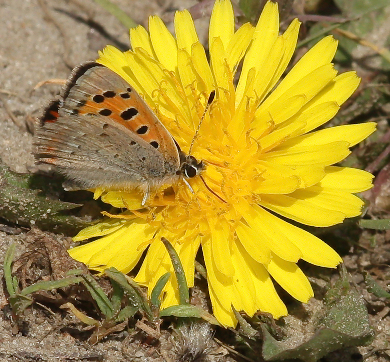 Kleine Vuurvlinder - De kleine vuurvlinder (Lycaena phlaeas) is een dagvlinder uit de familie Lycaenidae, de kleine pages, vuurvlinders en blauwtjes.<