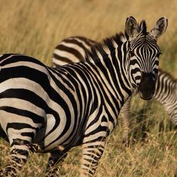 Zebra in ochtendlicht