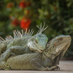Leguanenliefde