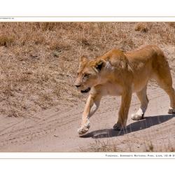 Lion Serengeti NP II