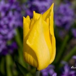 Tulp in hyacinthenveld