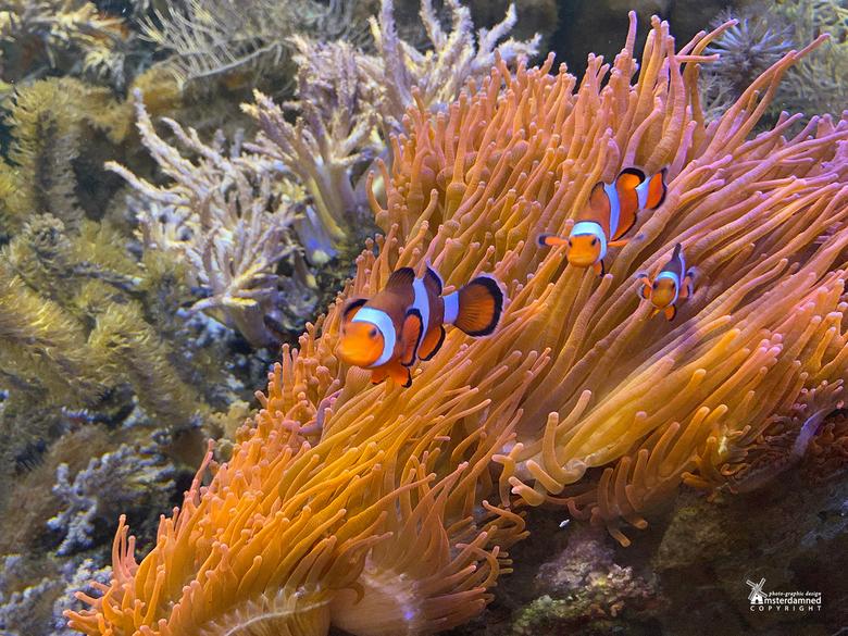 Vlinders aan de Vliet - De clownvis, een vissoort die in koraalriffen leeft en sinds 2003 vooral bekend is van de film Finding Nemo. <br /> <br /> D