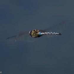 libelle in vlucht