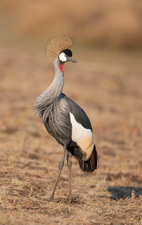 Grey-Crowned Crane - Mooi sierlijke Kraanvogel van Africa.<br /> <br /> hoi henk<br /> http://www.hlfotografie.nl/