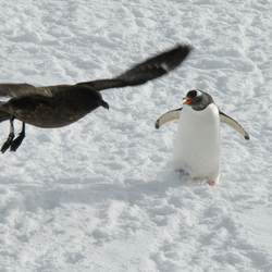 Boze pinguin verjaagt aartsvijand de Skua
