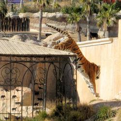 Behoud de tijger