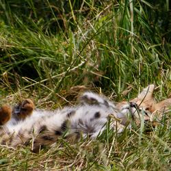 Jonge serval 2 - Blijdorp
