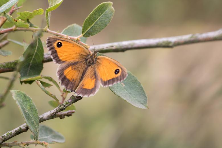 oranje zandoogje - Dit is het vrouwtje, een aantal foto's geleden heb ik het mannetje geplaatst, Bij het vrouwtje ontbreken de zwarte geurstrepen