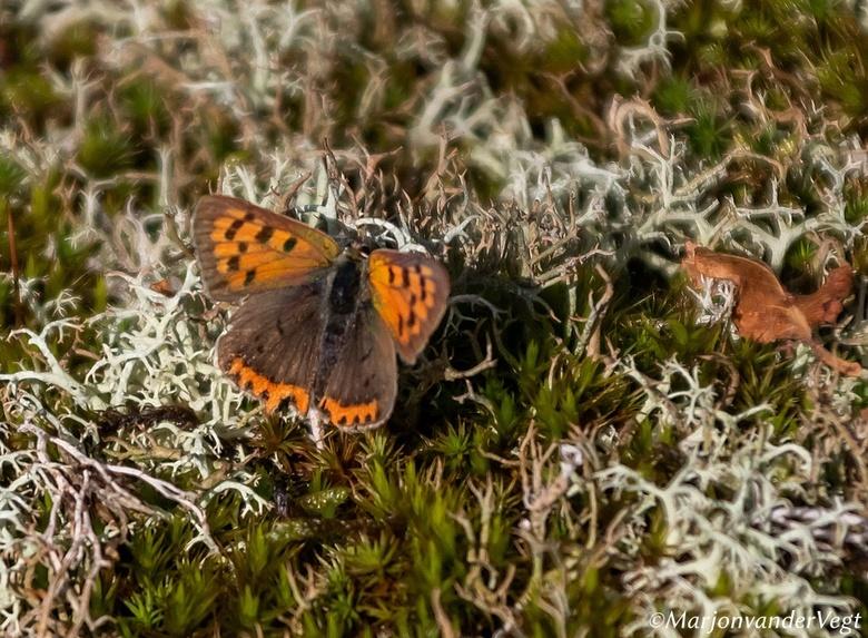 Hoe vurig - De kleine vuurvlinder (Lycaena phlaeas) is een vlinder uit de familie Lycaenidae (de kleine pages, vuurvlinders en blauwtjes). De wetensch