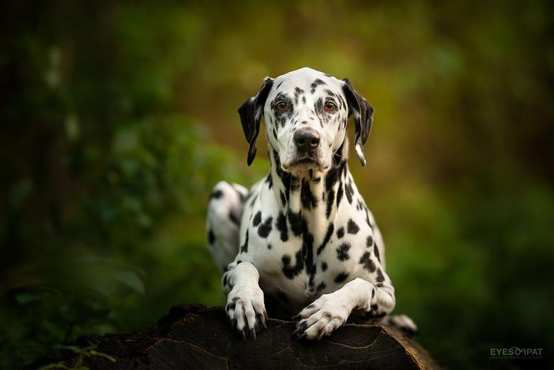 S H I V A - Deze week hebben we weer een Dalmatiër in huis. Een super lieve en sportieve dame van 6 jaar jong. Soms een beetje ongeduldig voor de foto