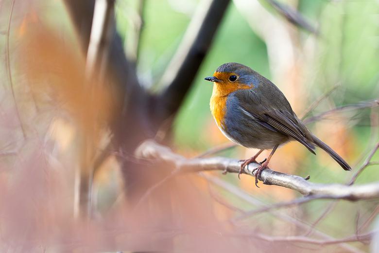 roodborstje - Dit vogeltje met de macrolens genomen . Zo dicht kwam het bij mij zitten .