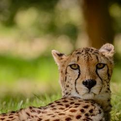 Cheeta ..