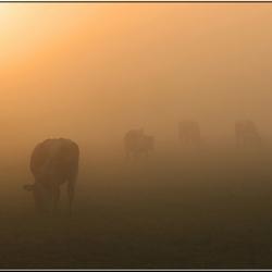 Golden cows.....