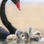 Zwarte zwaan met pulletjes
