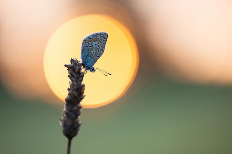 Caught in the rising sun - Dit weekend weer een heerlijke ochtend in het veld door gebracht. Helaas weinig dauw en ondanks het vroege tijdstip al hoge