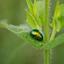 Chrysolina herbacea