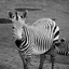Zebra met jong