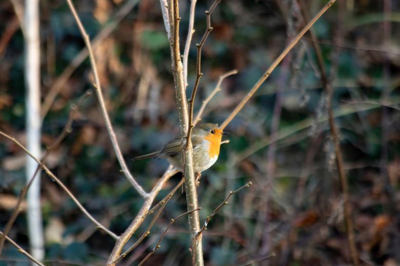 Vogel - Het mooie Roodborstje in het bos