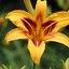 Geel-rode bloem