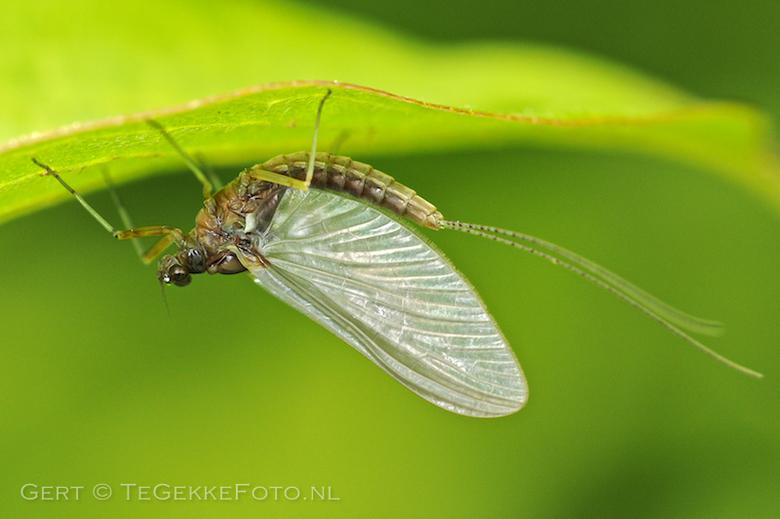 eendagsvlieg ... - Eendagsvliegen zijn geen vliegen, maar behoren tot een aparte orde, de Ephemeroptera. Ze staan ook bekend als haften.<br /> <br />