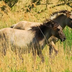 Paarden aan de Oostvaardersplassen