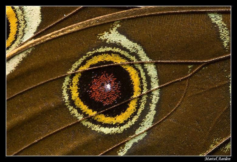Close up - Dit is een close up van de vleugel van een Morpho peleides