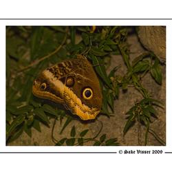 Morpho-vlinder