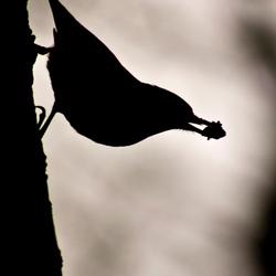boomklever silhouet