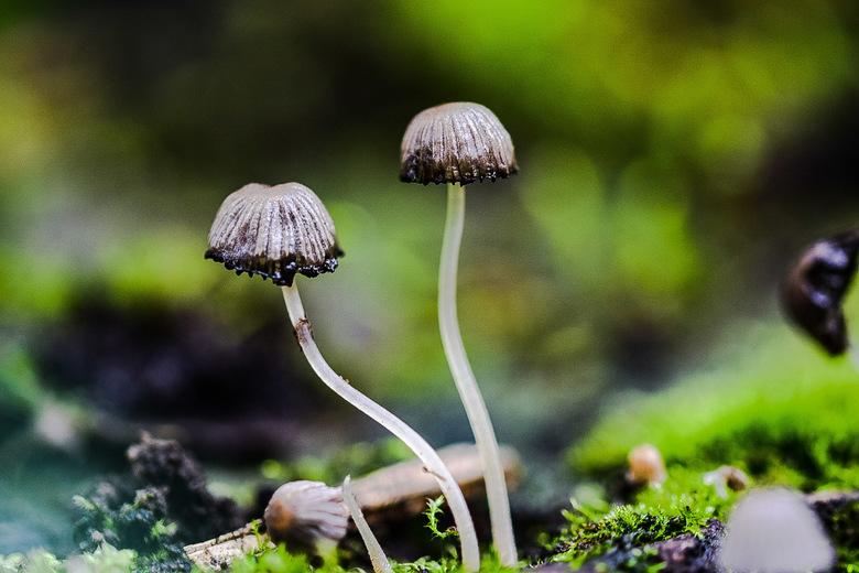 Little mushroom - Twee mooie kleine paddenstoelen met een glazige steel ergens op een boomstronk .wachtend op de herfst