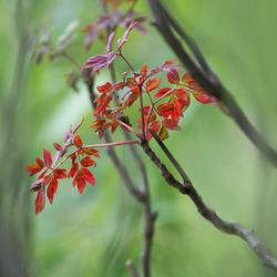 kōshoku  紅色