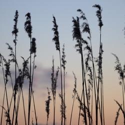 Zonsondergang door het riet
