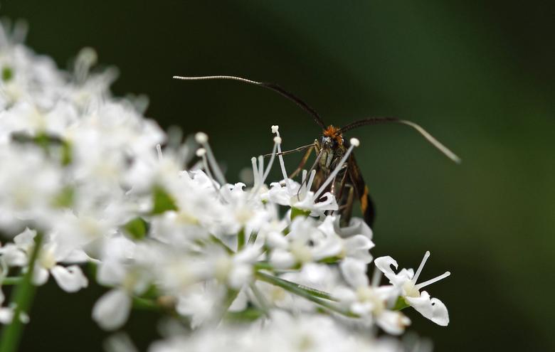 geelbandlangsprietmot - Sommige namen van insecten geven een beschrijving van het uiterlijk van het diertje. Bijvoorbeeld de geelbandlangsprietmot.<br