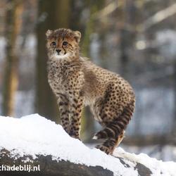 Cheetah jong