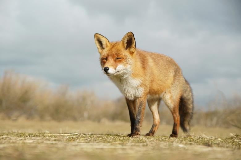 Fox - Afgelopen zaterdag heerlijk weer om een dagje door het AWD te struinen, en natuurlijk de vossen mochten niet ontbreken.<br /> <br /> Thanks vo