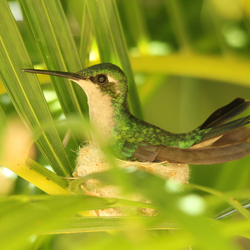Kolibrie op nestje