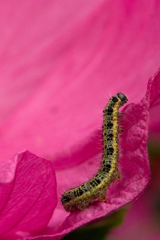 Rups & roze - .