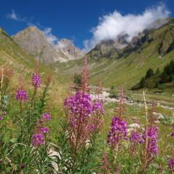Paarse bloemen en bergen