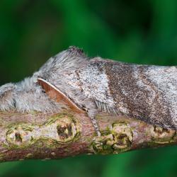 Meriansborstel (Calliteara pudibunda)
