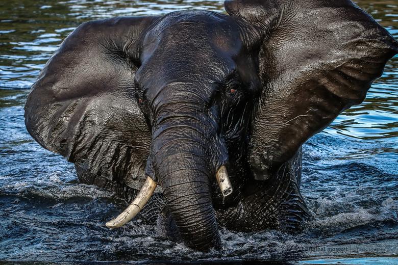 Olifant neemt douche in Chobe National Park, Botswana