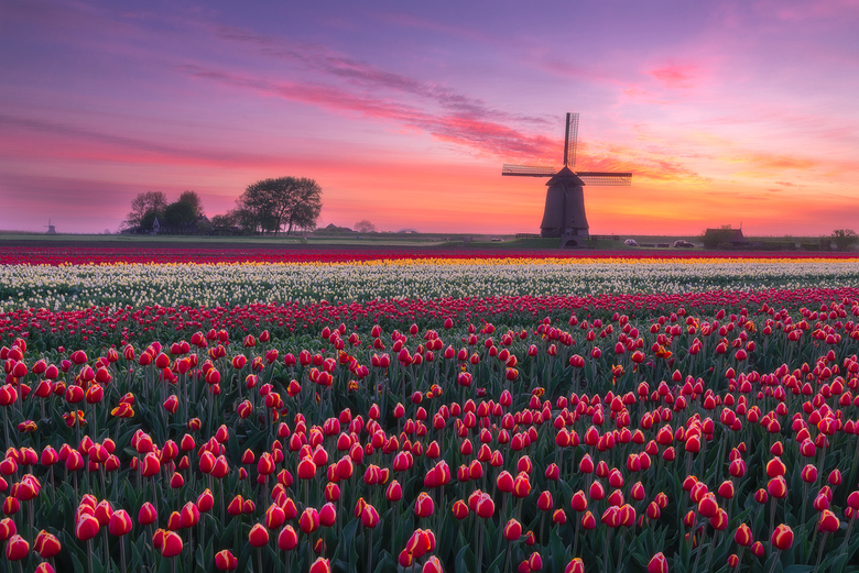 Windmill & Tulips