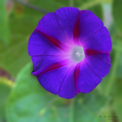 bloem in het paars
