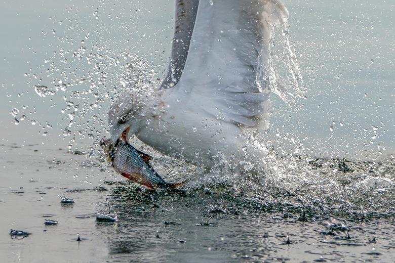 Hebbes! - Een pontische meeuw vangt een vis uit het water.<br /> <br /> Bedankt voor de leuke en bemoedigende reacties en stemmen op mijn vorige fot