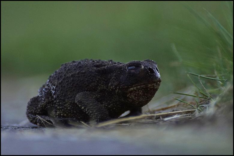 Bufonidae  - Liep langs het fietspad, moeilijk om vast te leggen door zijn aparte loopje.
