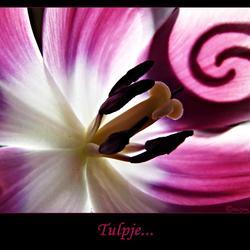 Tegenlicht tulpje....