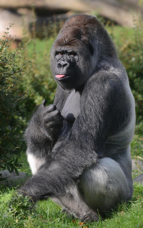 De Baas - Deze aap hoeft geen verdere introductie