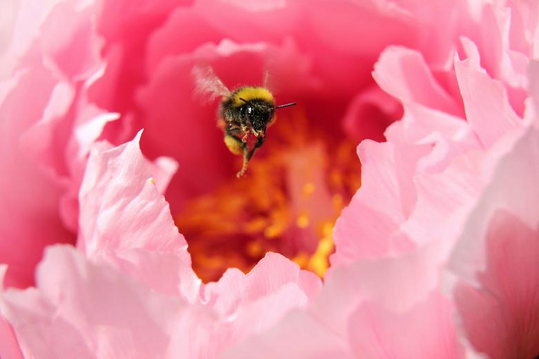 Hommel en de bloem - Deze hommel heeft net zijn werkzaamheden afgerond.