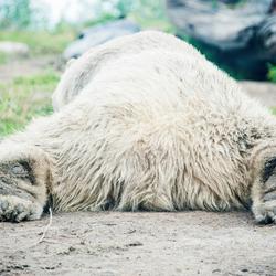 Luie ijsbeer